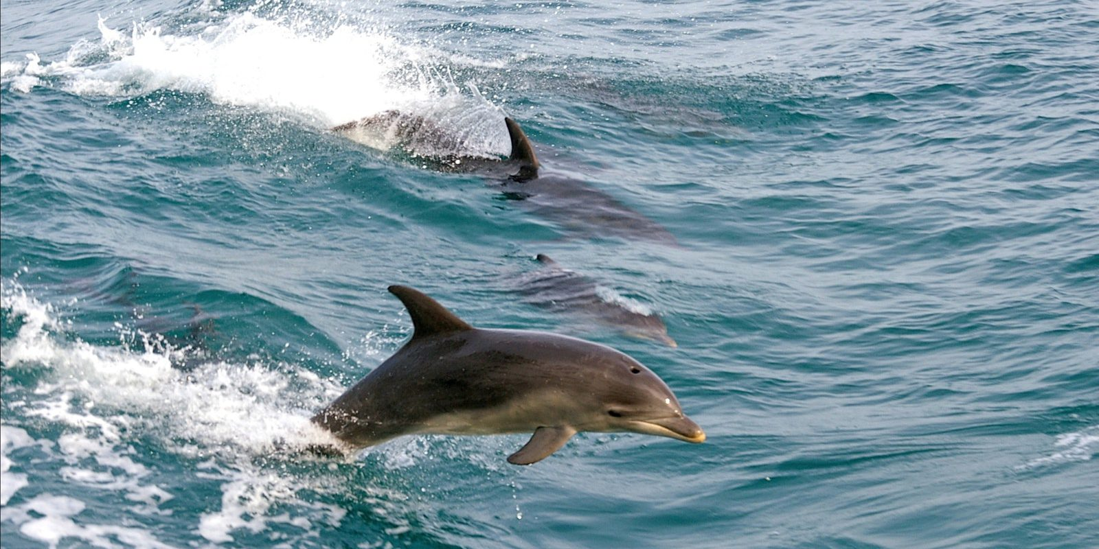 dolphins | Carmel at Sorrento